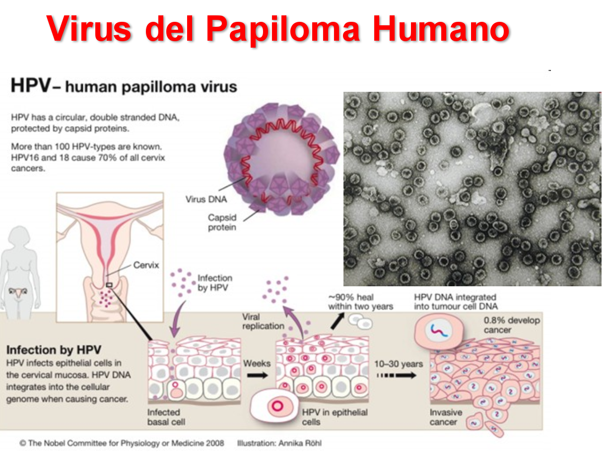 hpv virus microbiologia