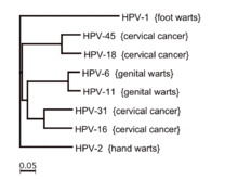 hpv strains and warts)