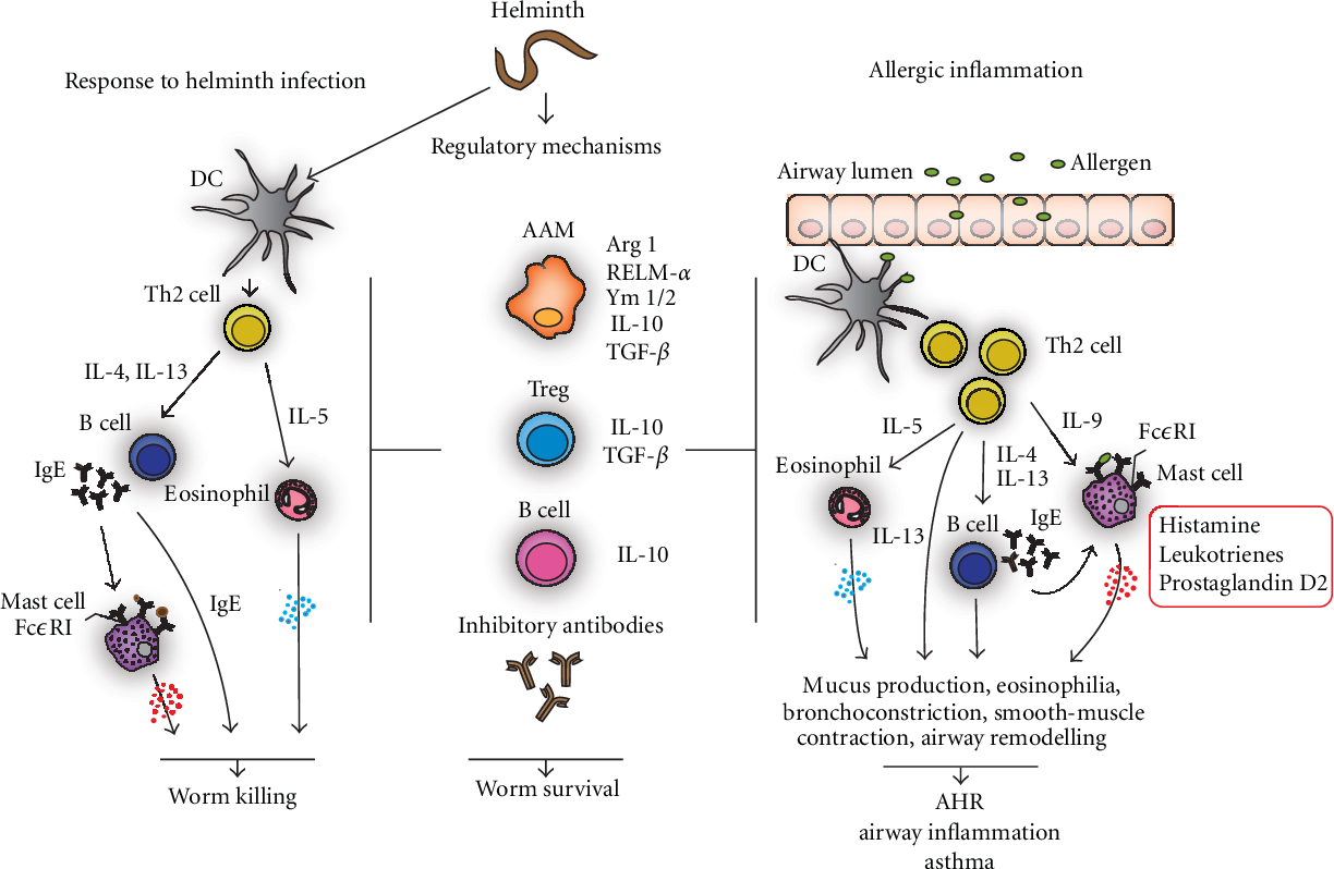 helminth infections immunity