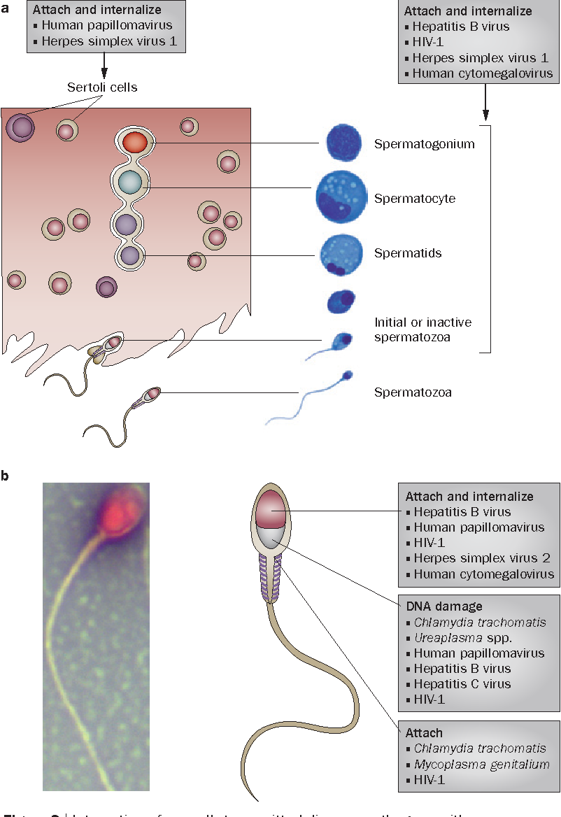human papillomavirus and male infertility)