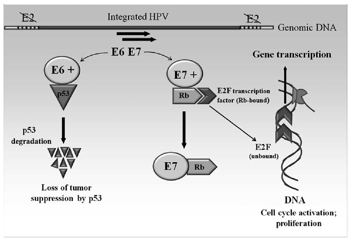 hpv cervical cancer e6 e7)