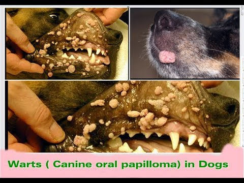 papillomavirus in animals treatment