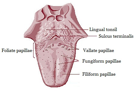 vallate papillae tongue treatment)