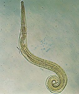 enterobius vermicularis in hindi