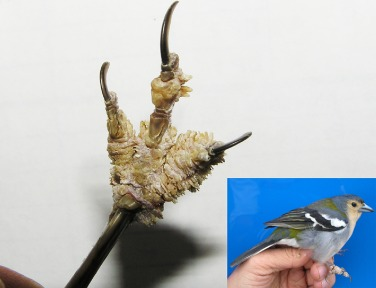 papillomas in birds