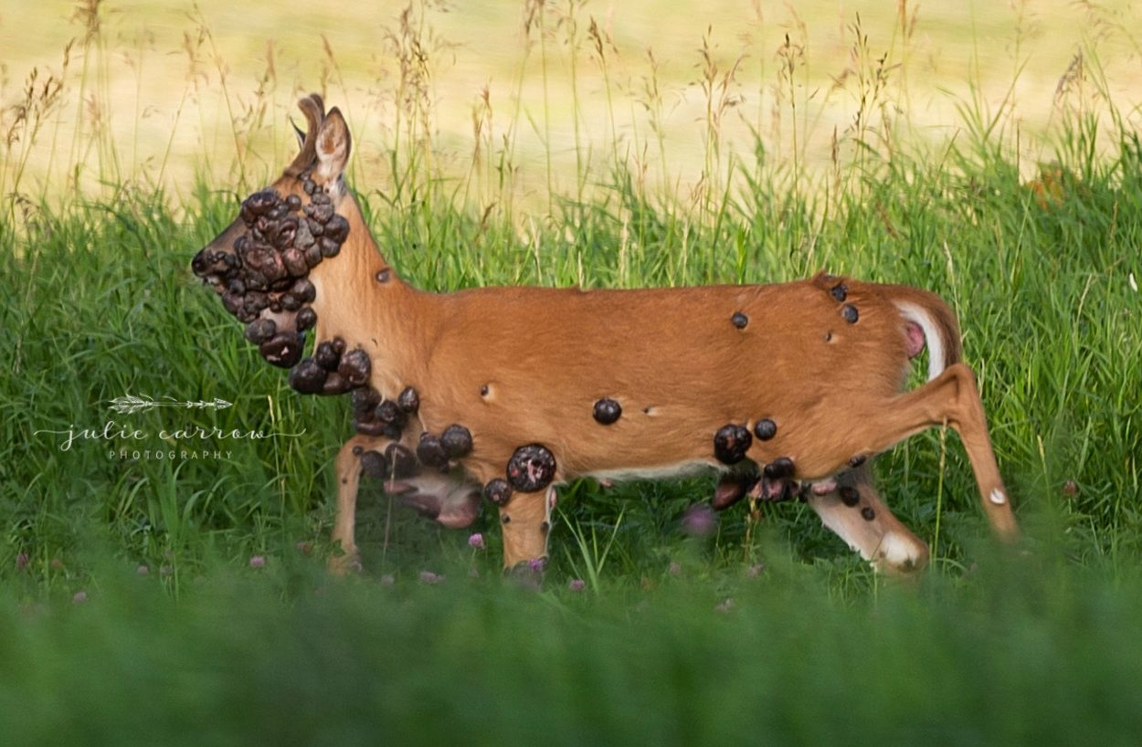 deer with hpv tumors