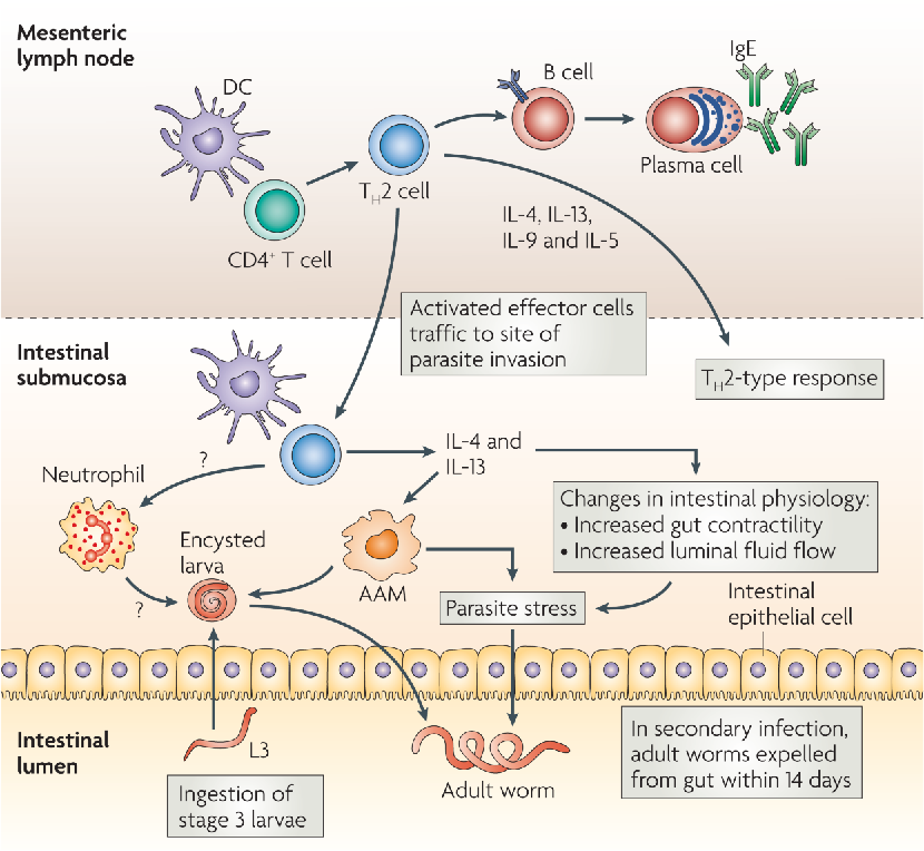 immunity to helminth infections