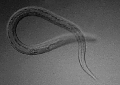 helminth therapy whipworm