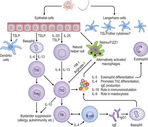 helminth therapy immune response